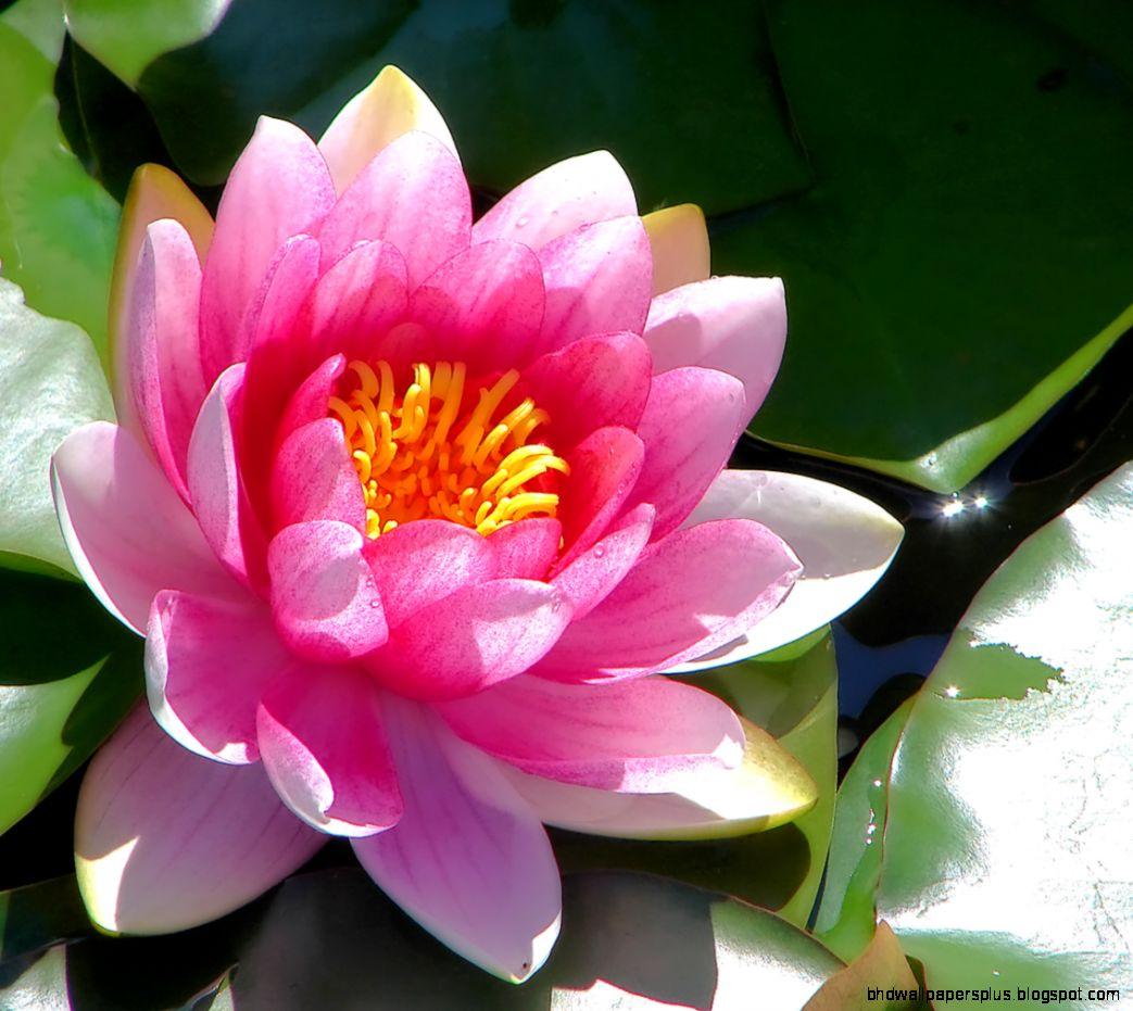 Lotus Flower  1134x991px  601956