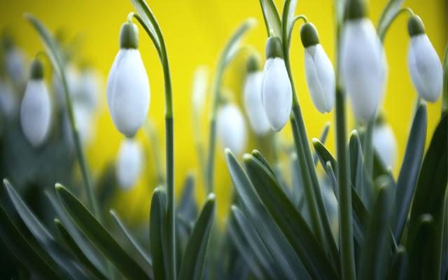 Campanillas de Invierno Imagenes de Flores en HD
