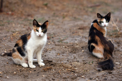 Calico cats feral cats National Feral Cat Day