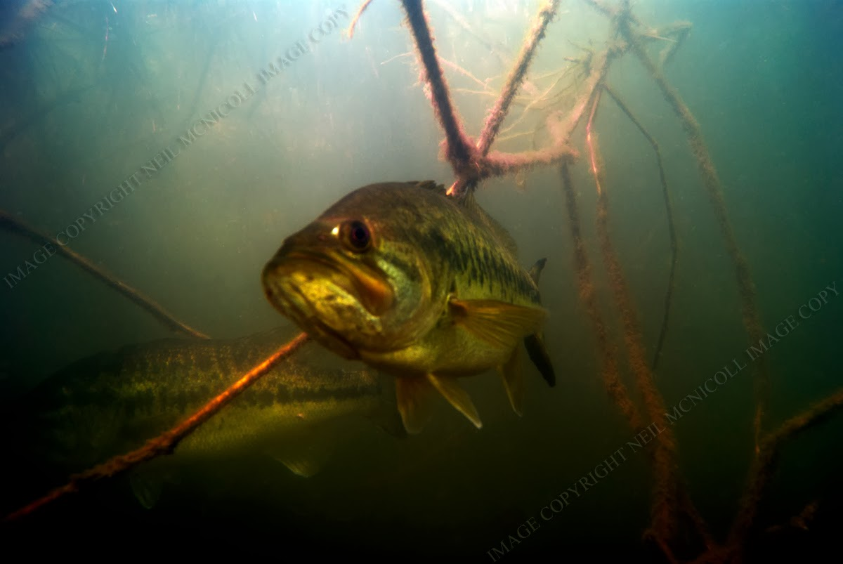 Largemouth Bass Underwater Photography: LARGEMOUTH BASS 3 Largemouth Bass Pictures Underwater