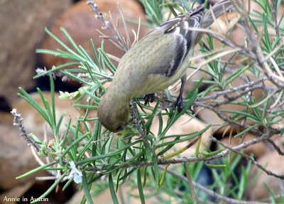 Annieinaustin, female goldfinch on rosemary