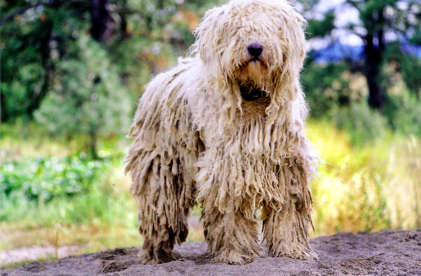 Komondor Dogs Komondor Dog Pictures