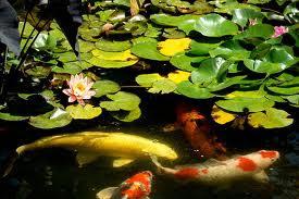 Il giardino delle naiadi a a a affittasi laghetto per for Pulizia laghetto