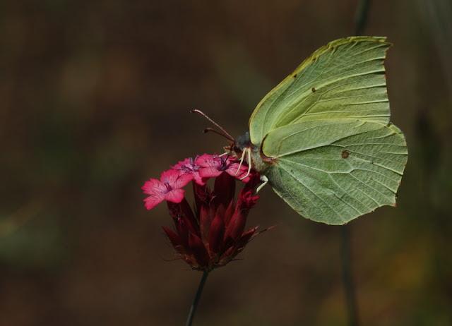 orak kanat kelebeği