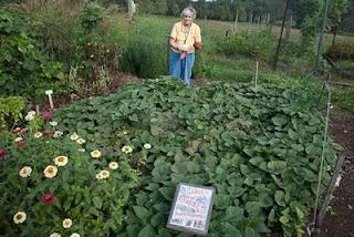 Sweet Potatoes Garden