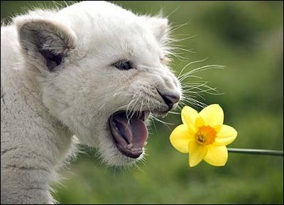 cute baby white lions - photo #20