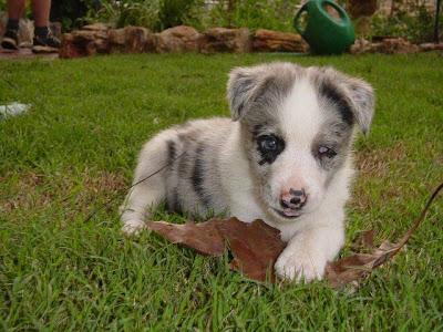 Kelpie Breeders Dog And Dog Blog...