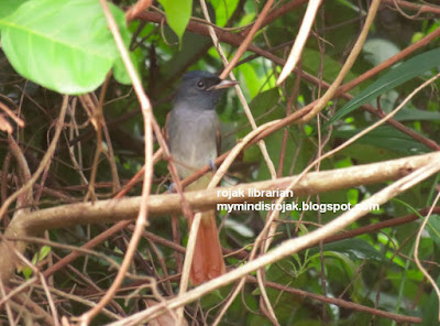 Asian Paradise Flycatcher in Bukit Brown