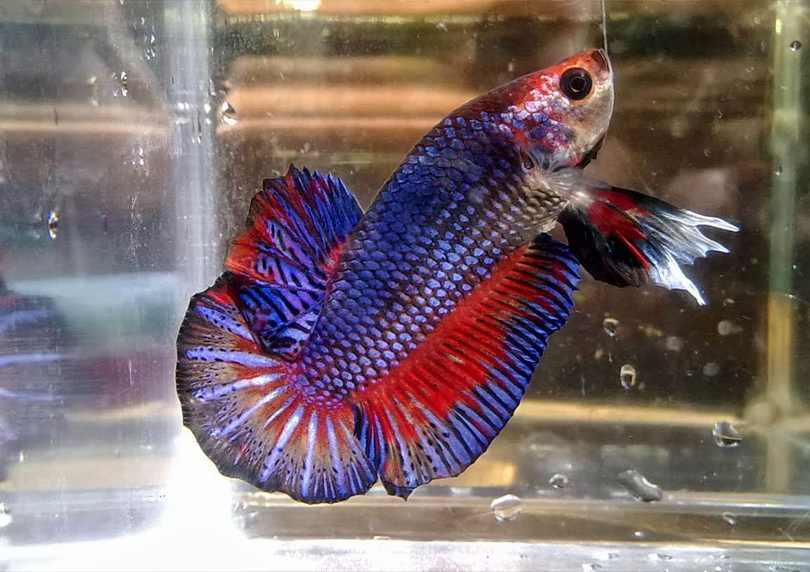 Ganzo games extended pc games rm5 betta fish year end for Betta fish game