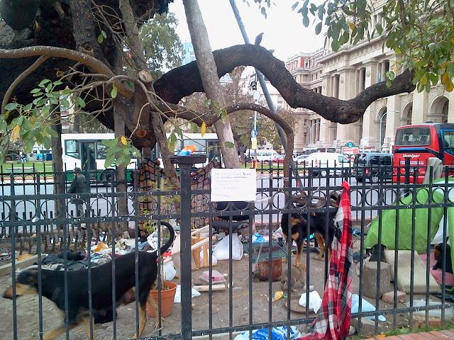 Ceibo de Alvear, o Ceibo de Jujuy en Plaza Lavalle, Ciudad de Buenos Aires