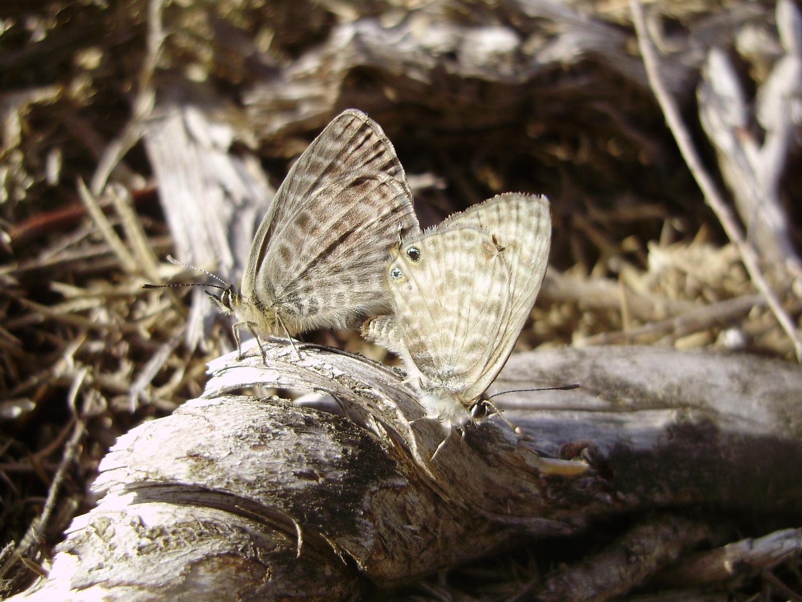 Pareja de mariposas Leptotes pirithous en copula