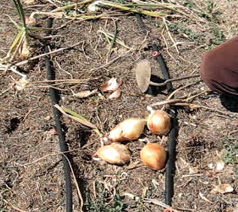Recolección cebollas