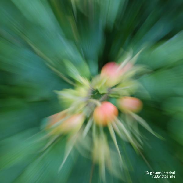 Bacche di rosa rugosa
