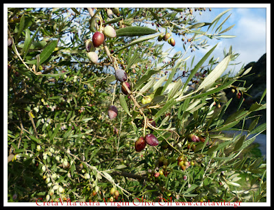 Greece We collected olives. We are producing  Olive Oil