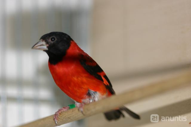 venta cardenalitos venezuela: