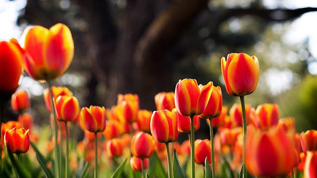 Ảnh đẹp cuộc sống: Bộ hình nền đẹp về cánh đồng hoa Tulip 14