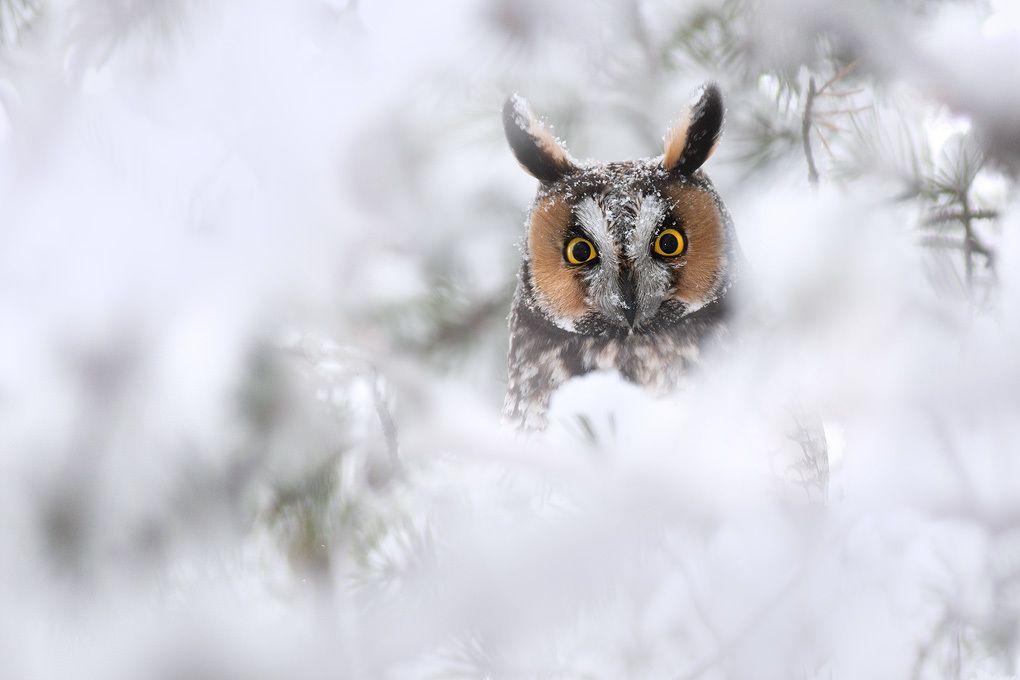 8. Long-eared Owl