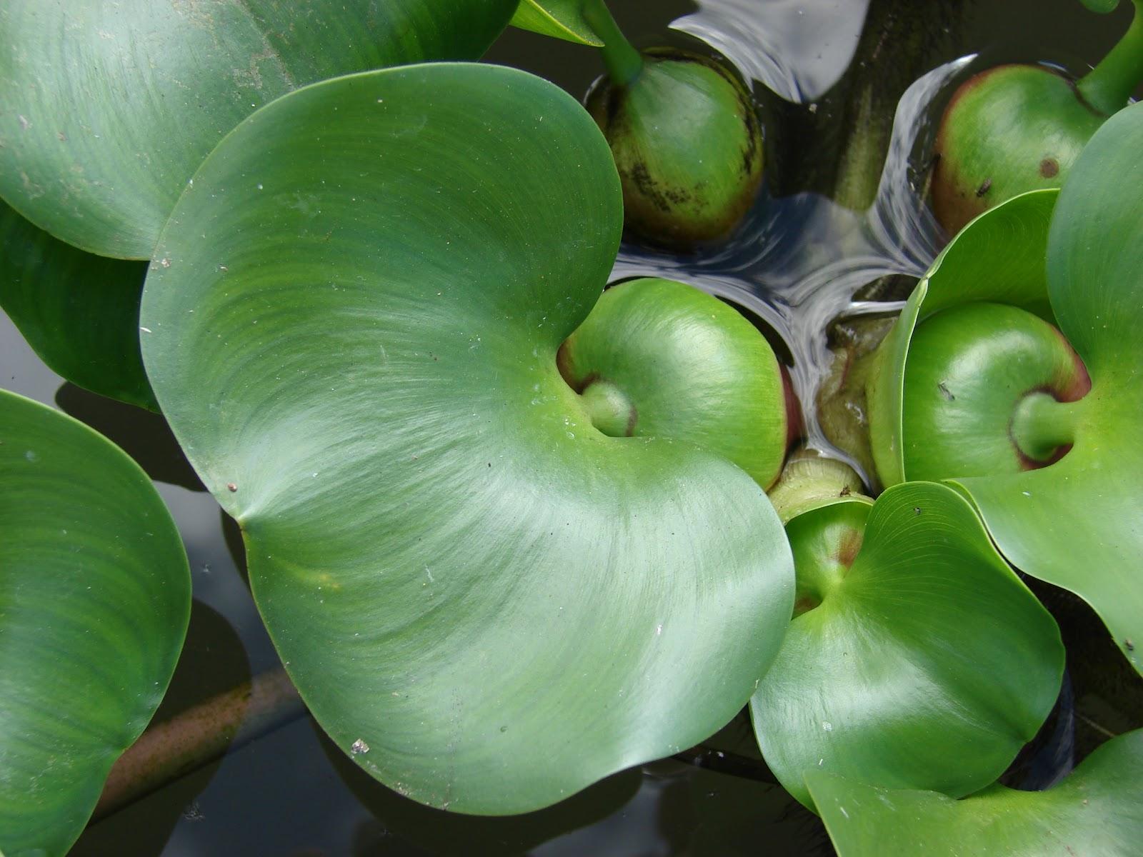 Peces y plantas ornamentales eichhornia crassipes - Jacinto planta interior ...