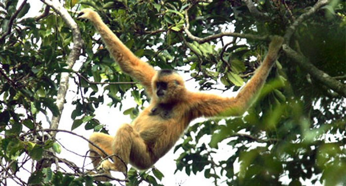 15 Animals That Are In Danger Of Extinction (Unless We Try To Protect Them) - Hainan Gibbon