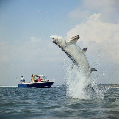 Seeds and weeds t is for tarpon for Tarpon fishing florida