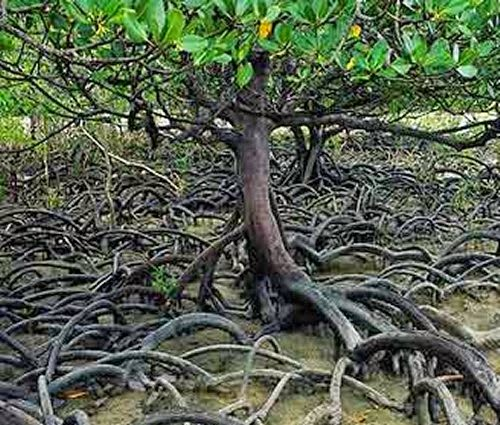 Mangrove Swamp Tree picture 2