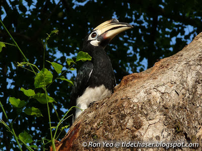 Female Oriental Pied Hornbill (Anthracoceros albirostris)