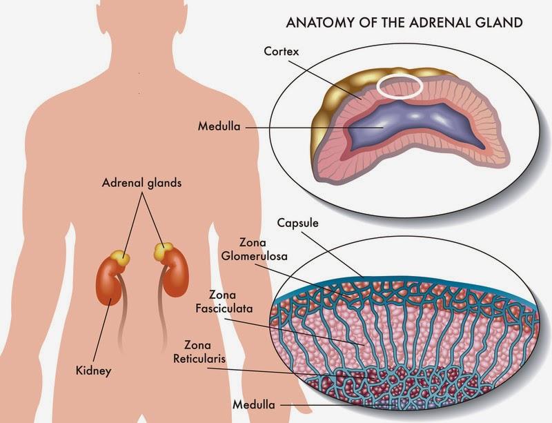 ihmisen sisäelimet munuaiset
