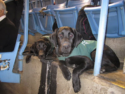 Black lab puppy Romero is in a down on the concrete floor beneath a blue stadium seat at the Rogers Centre. He is wearing his green future dog guide jacket. His head is perked up and he is looking slightly off to the right, with his paws hanging over the ledge in front of him. Next to Romero (slightly behind him in this photo) is another dog guide puppy, black lab Jewel. Jewel is about 10 months old, but about the same size as Romero, with a thin, triangular face and big floppy ears. She is looking towards the camera with her chin resting on the ground. There is no one sitting in the seats above the dogs (we are in front of them taking this picture) but there are several jackets and bags saving our seats.