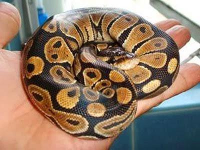 for loop, python tutorial, python list, python snake, python download ...