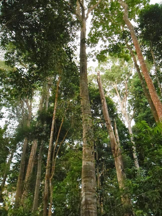 rừng Meranti