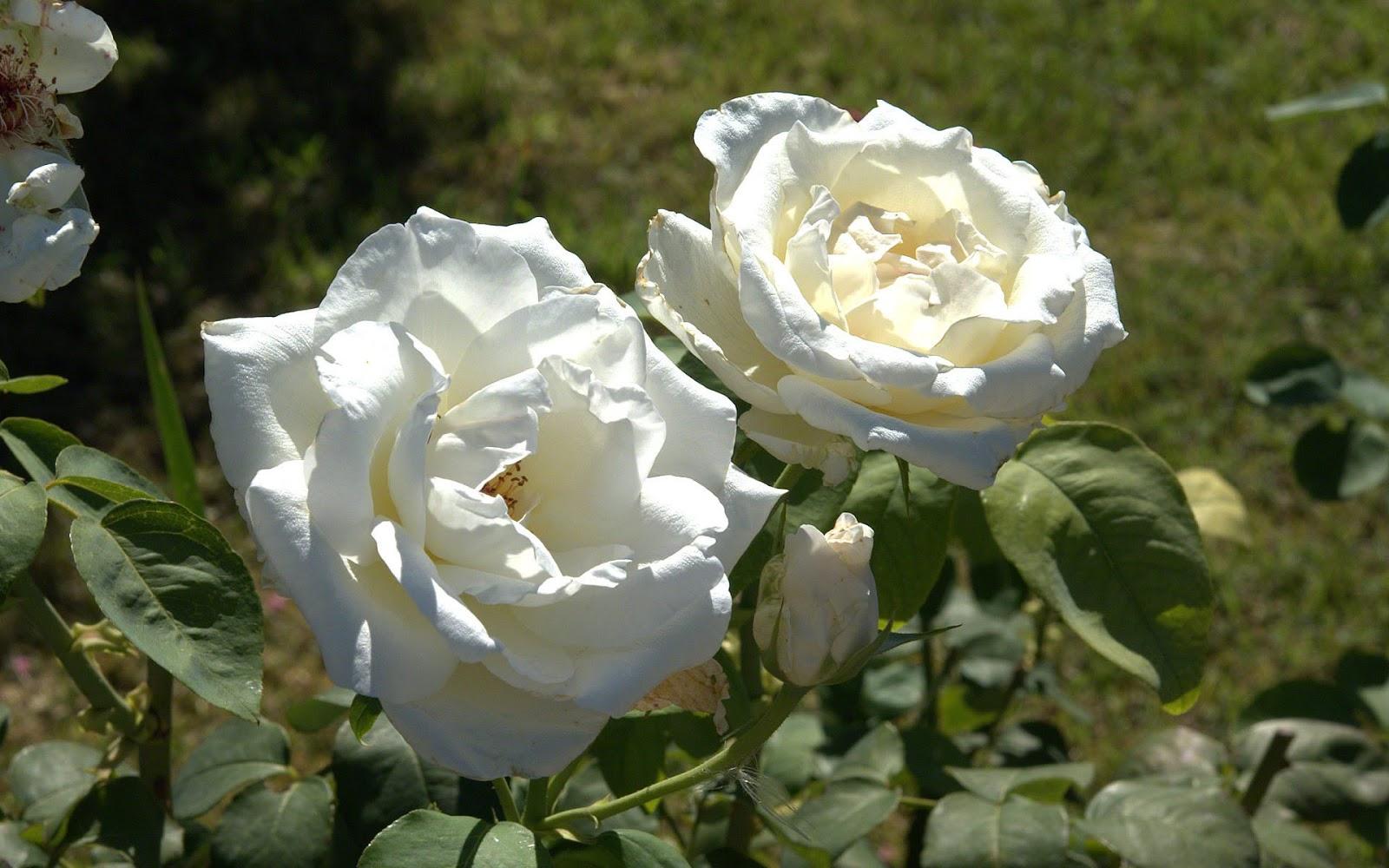 el lenguaje de las rosas que significa: