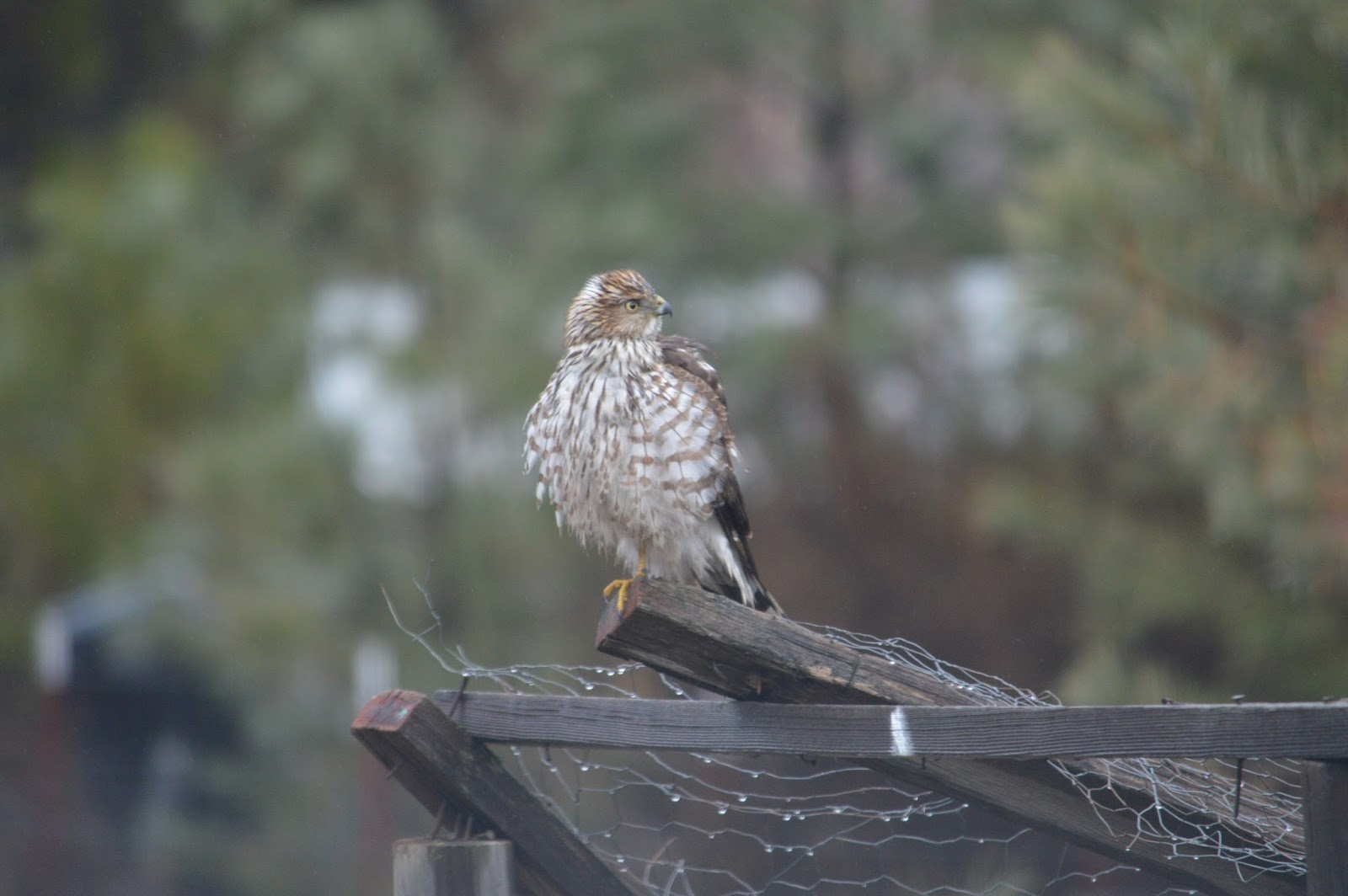 basking in the light the hawk in my backyard