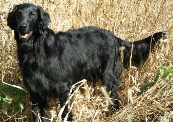 The Flat Coated is a single coated breed and one of the breeds used to ...