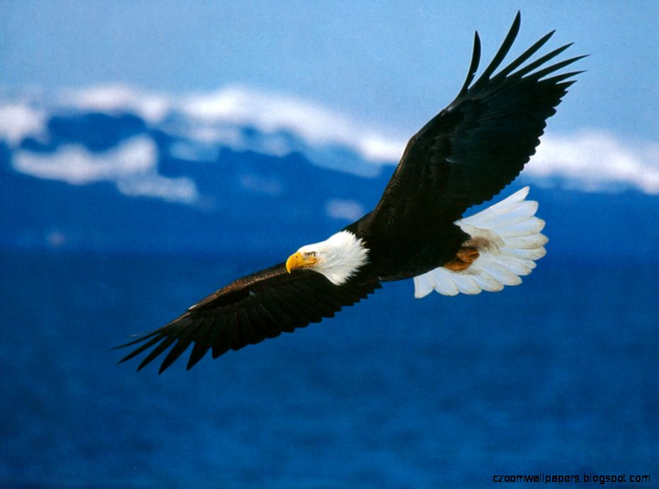 Amazing Wallpapers Of Eagle  Live HD Wallpaper HQ Pictures