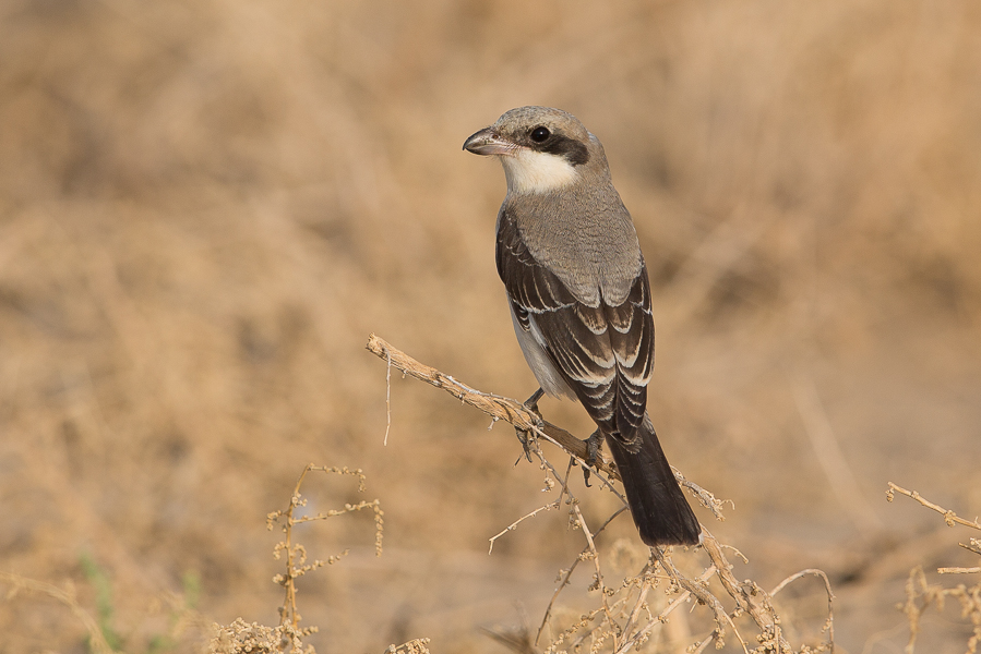 Lesser Grey Shrike - immature