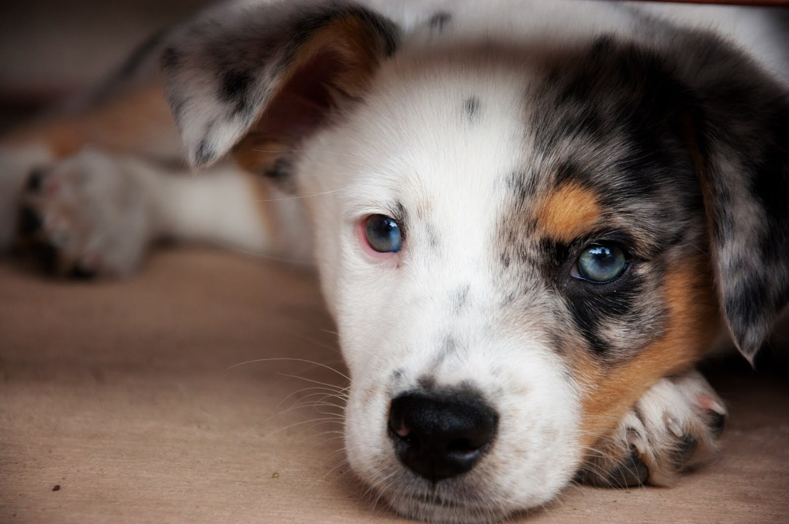 Blue Heeler Border Collie Australian Shepherd Mix Blue heeler border ...