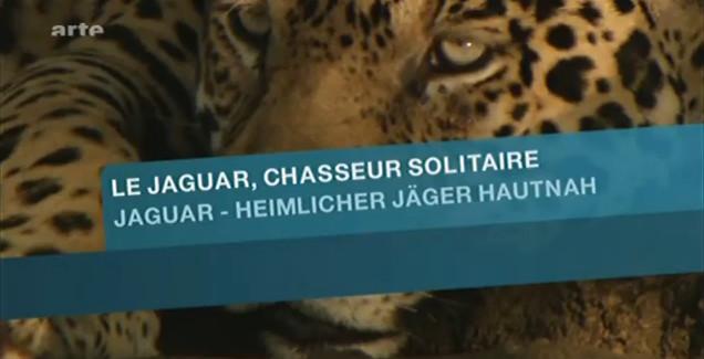 Le jaguar, chasseur solitaire affiche