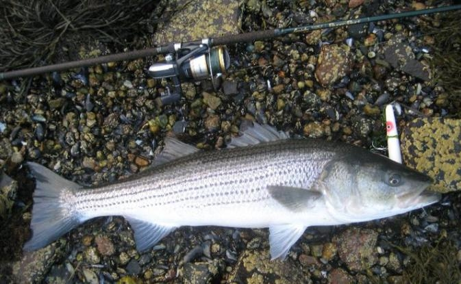 Image gallery striper poppers for Striped bass fishing tips