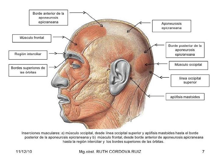 Anatomía del Cráneo y Cara