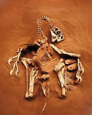 Citipati fossil