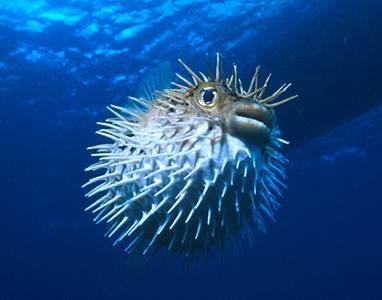 http://3.bp.blogspot.com/-EbOJD6_iJKM/TqLYjyo5ohI/AAAAAAAABM8/Qhbka-WR_9E/s400/Balloonfish5.jpg