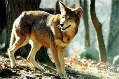 Canis rufus (Lobo rojo)