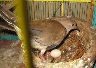 Burung Puter