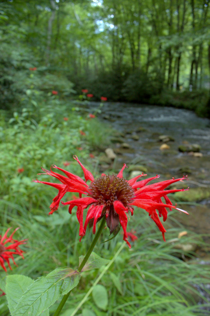 Bees balm close up in Cataloochee Valley along Rough Fork