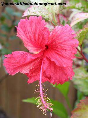 firecracker hibiscus