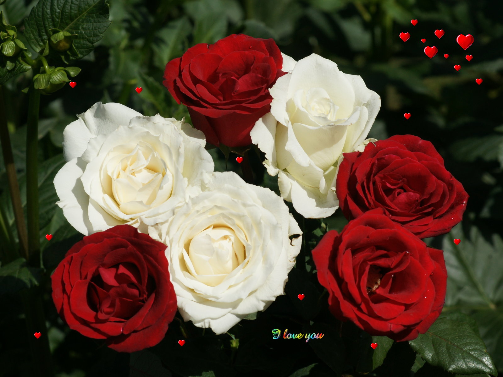Knumathise red and white rose wallpaper images red and white rose wallpaper flowers mightylinksfo