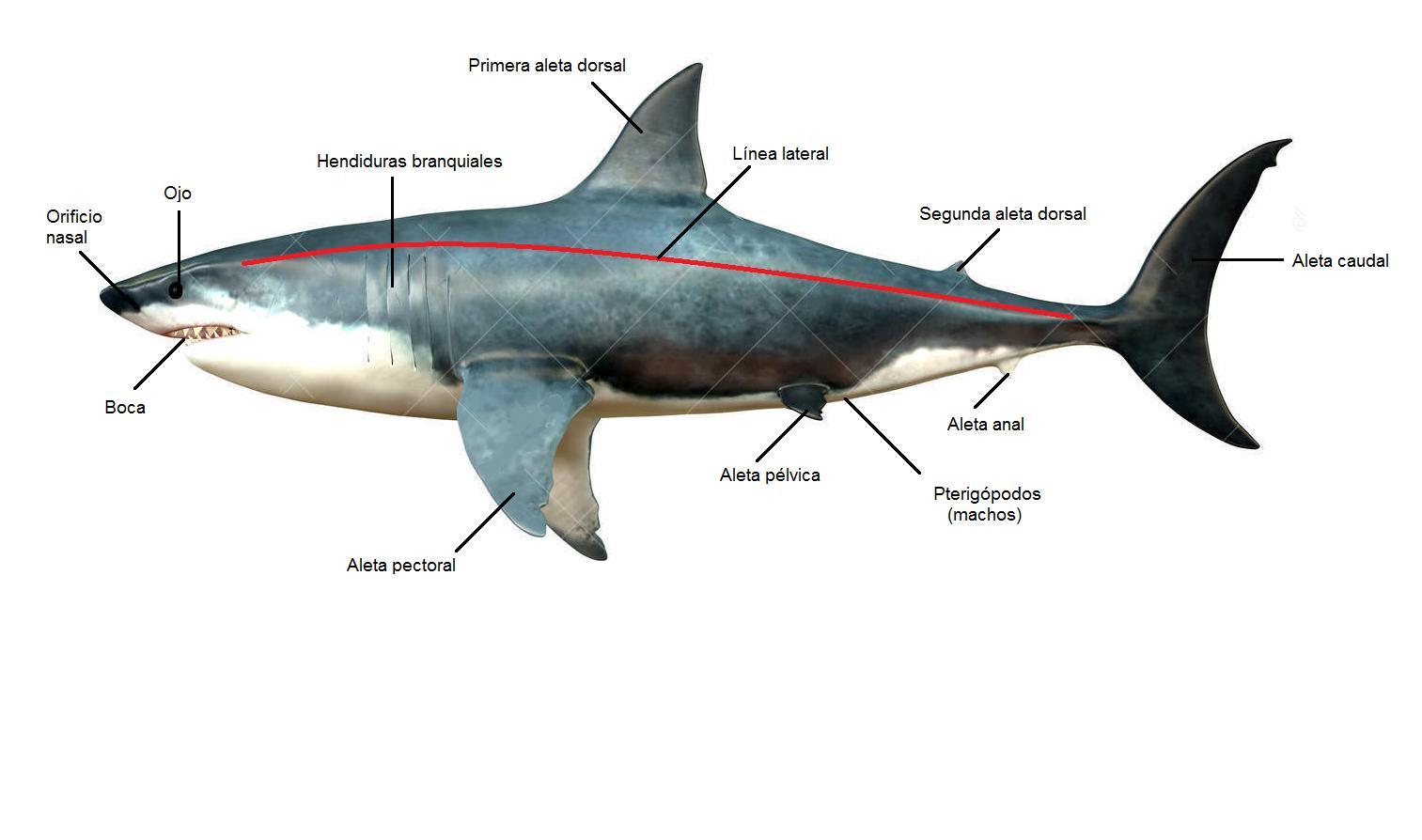 Barcelona Aquarium Sharks: Morfología externa