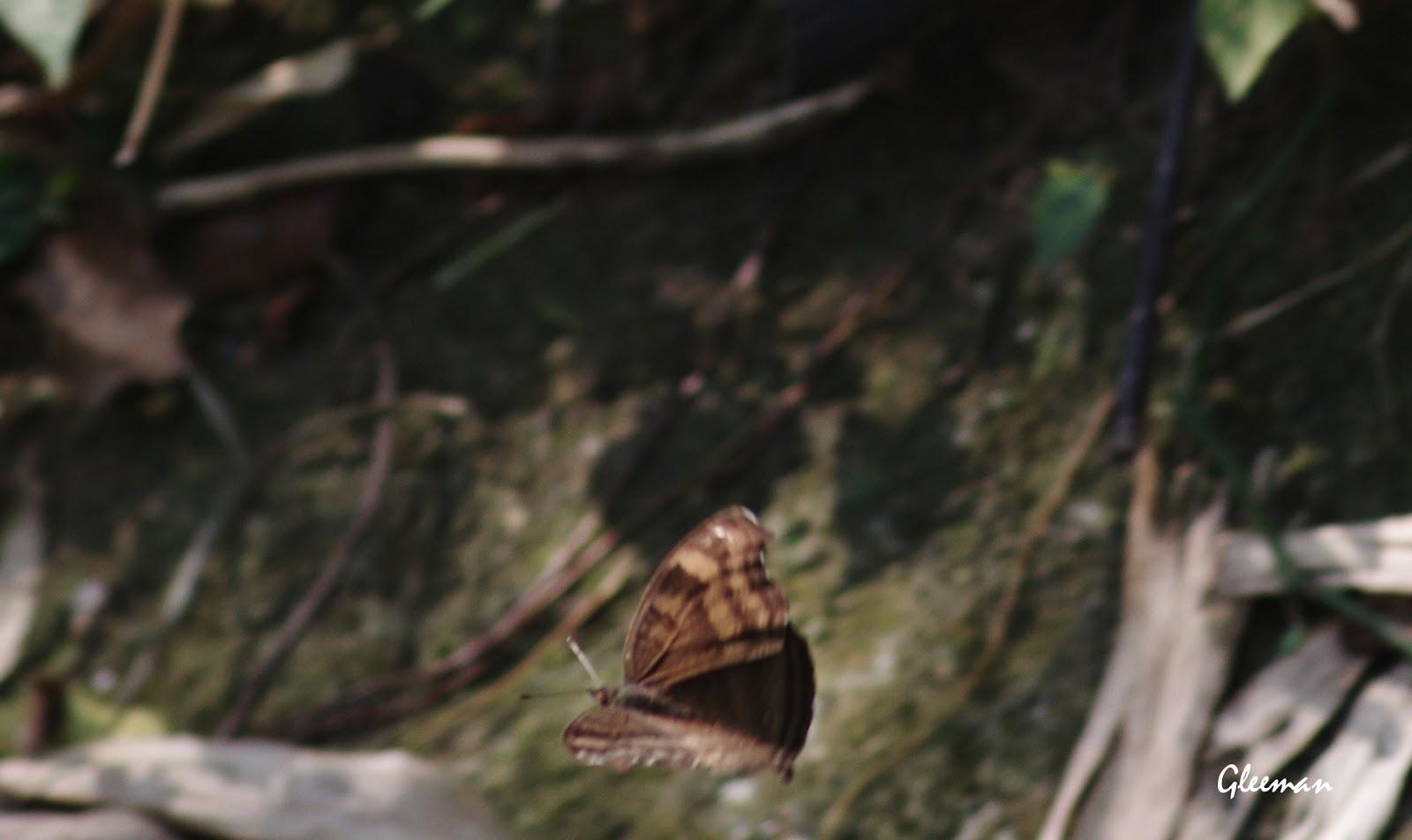 黯眼蛺蝶於雞南山