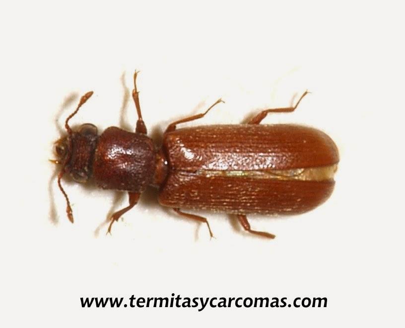 Termitas y carcomas carcoma de la madera lyctus brunneus for Carcoma de la madera