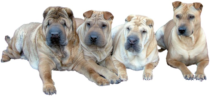 infoseite zum traditional shar pei shar pei typen. Black Bedroom Furniture Sets. Home Design Ideas